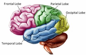brain lobes - Northern Brain Injury Association   British ...