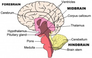 Image result for brain structures